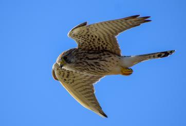 Séjour ornithologique à Houat et Hoëdic